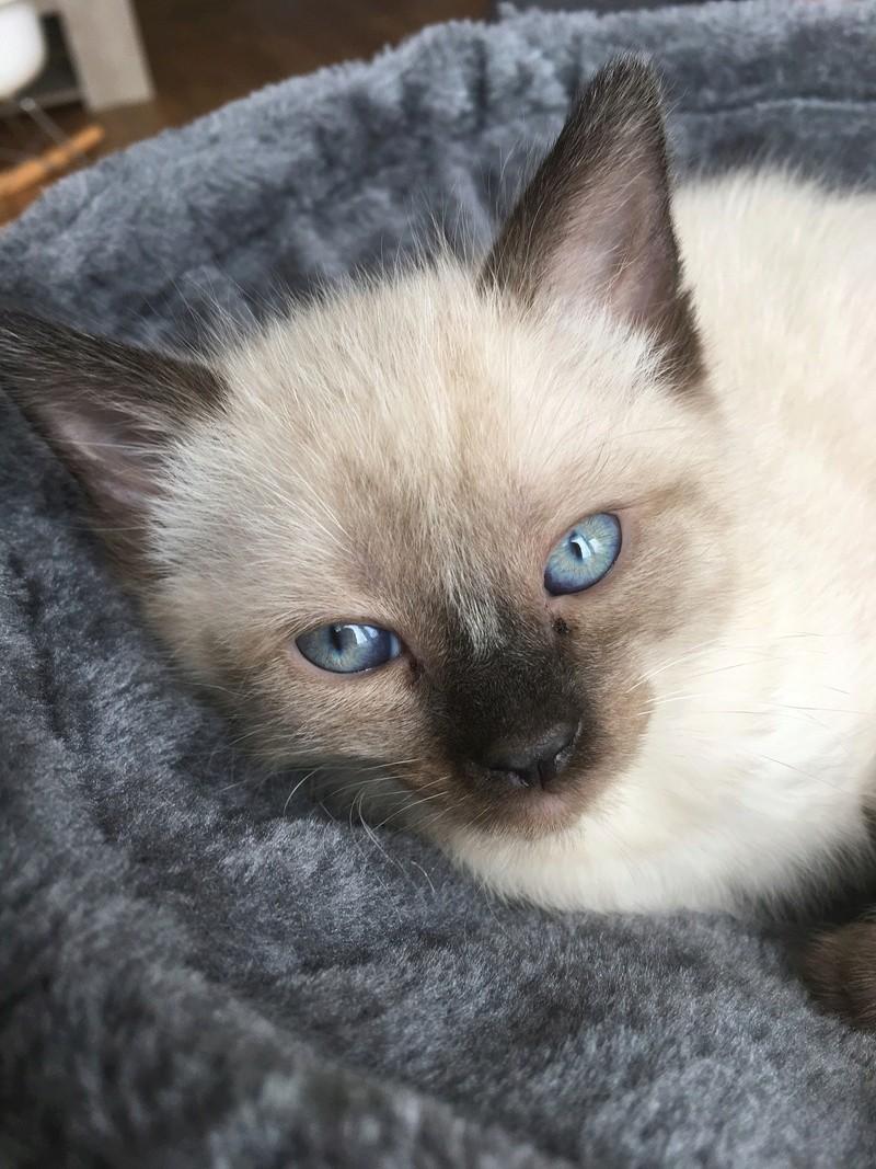 nieve - NIEVE, femelle siamoise, née le 29/07/2017 Img_9810