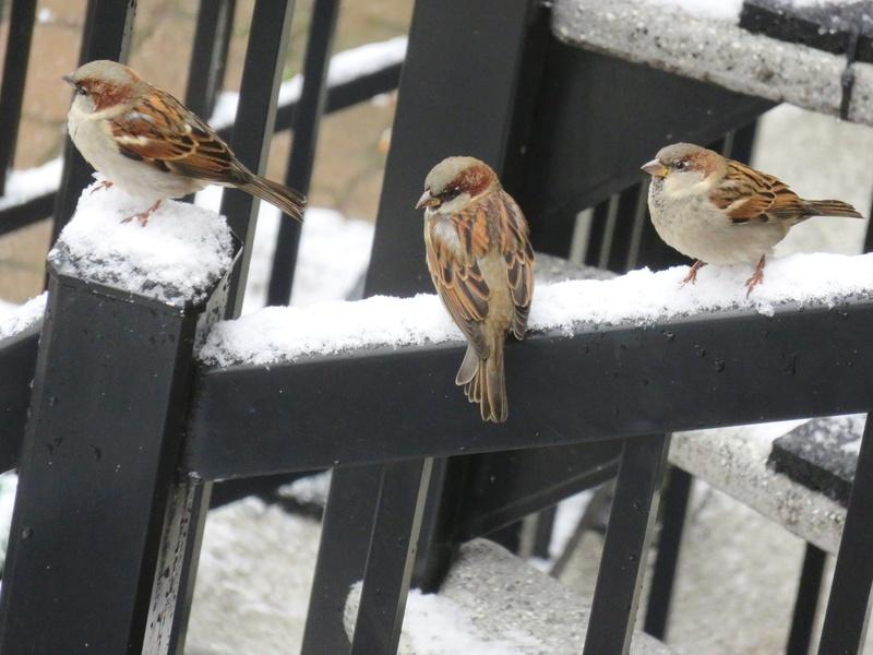 Moineau domestique, Étourneau sansonnet et la première neige 2017-118