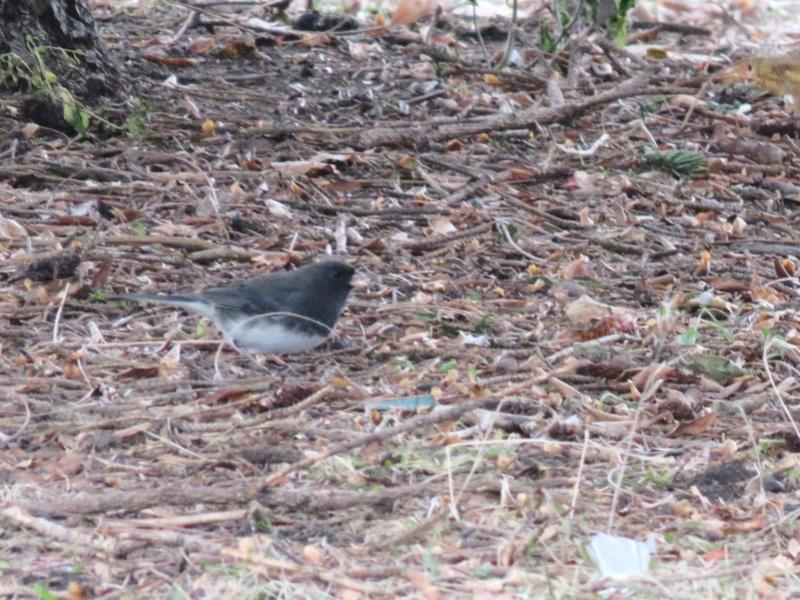 Petits oiseaux apercus au parc ce matin  2017-123