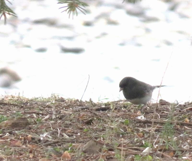 Petits oiseaux apercus au parc ce matin  2017-126