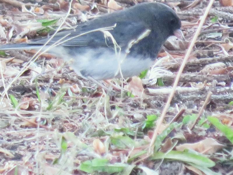 Petits oiseaux apercus au parc ce matin  2017-127