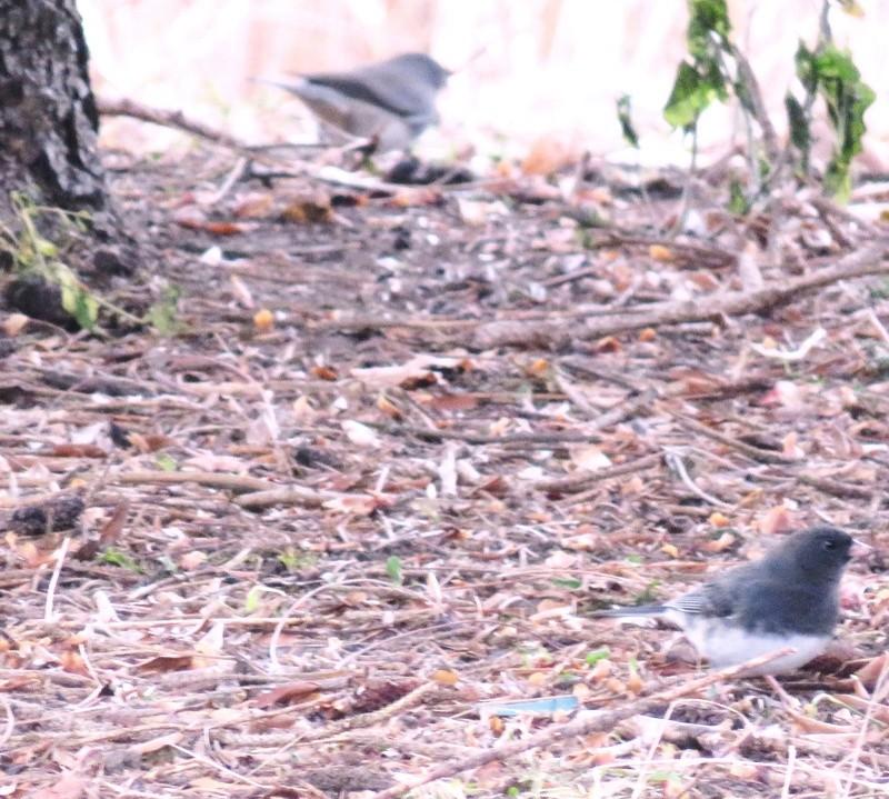 Petits oiseaux apercus au parc ce matin  2017-128