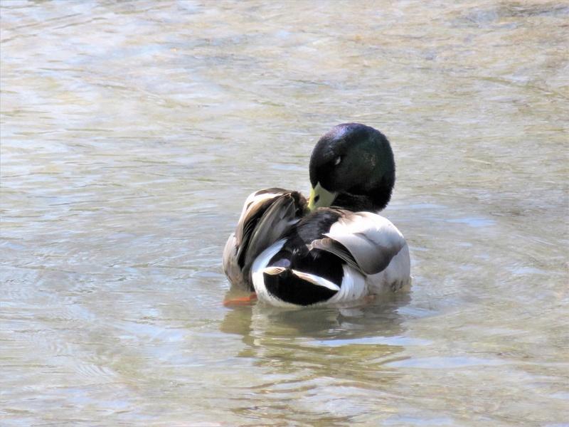 Canard colvert, vu au parc aujourd'hui Img_3918