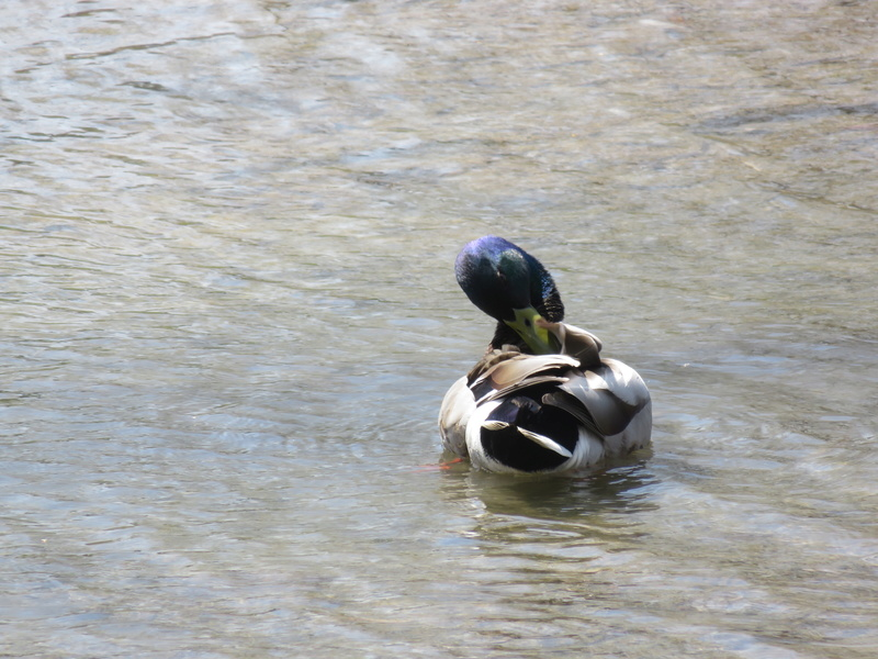 Canard colvert, vu au parc aujourd'hui Img_3919