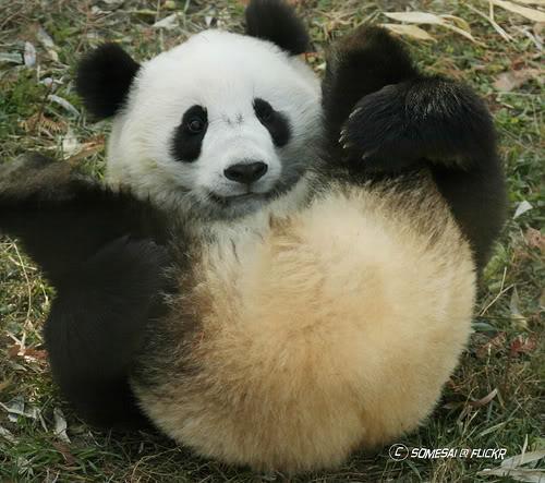 [Jeu] Association d'images - Page 17 Panda_10