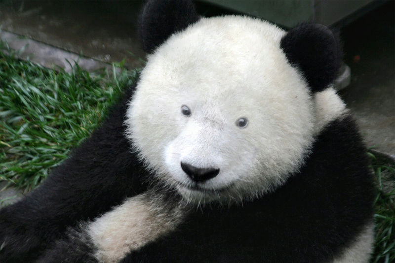 [Jeu] Association d'images - Page 38 Panda_12