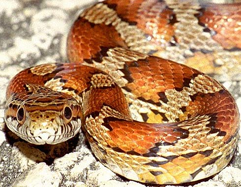 Mollegabet decorado con dos serpientes Corn-s10