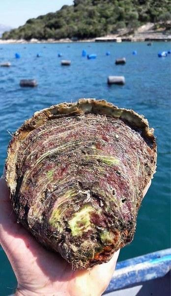 RIBA - MORSKA i SLATKOVODNA: vrste, zanimljivosti, pitanja, ribolov, recepti za pripremu... - Page 22 Kameni10