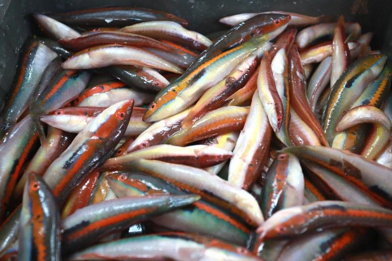 RIBA - MORSKA i SLATKOVODNA: vrste, zanimljivosti, pitanja, ribolov, recepti za pripremu... - Page 22 Pxl_2011