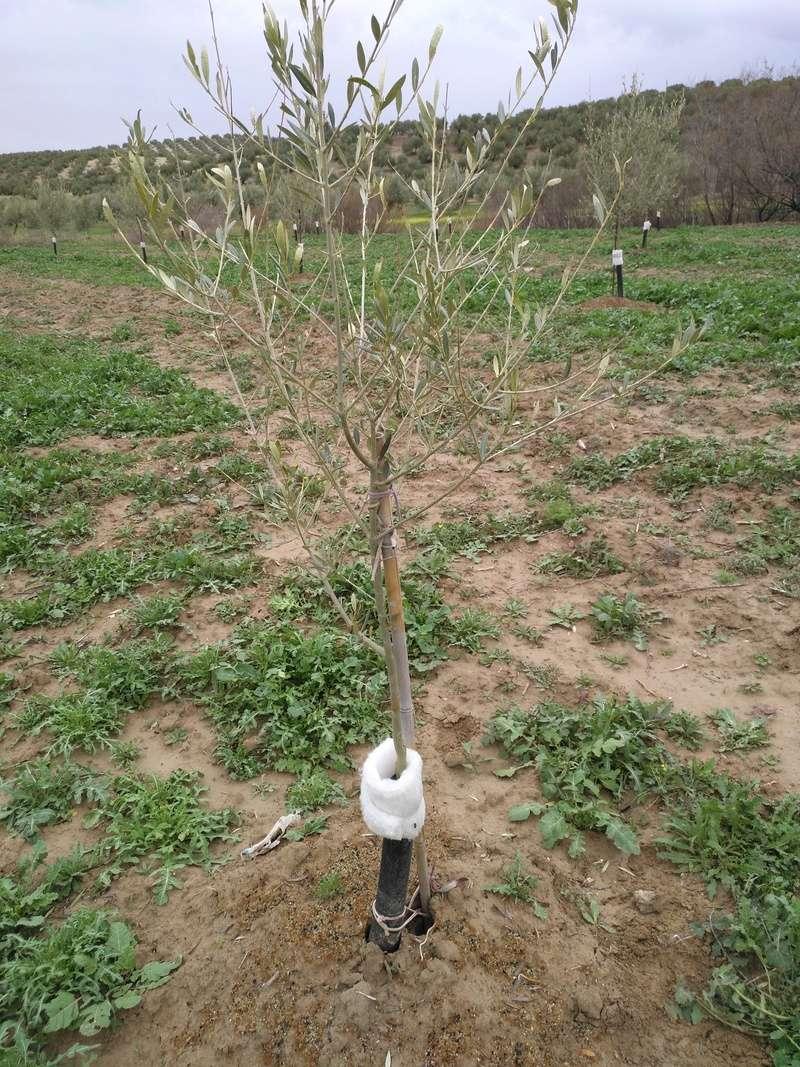 Crecimiento de plantones olivo - Página 14 Img_2013