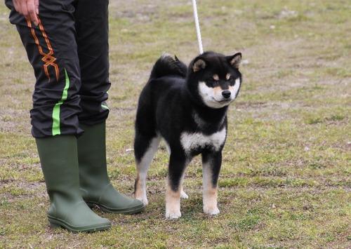 """Визуально """"белые"""" собаки в родословных Сиба 992fb410"""