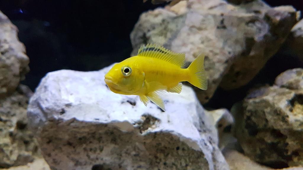 Labidochromis caeruleus (Fryer, 1956) 20180149