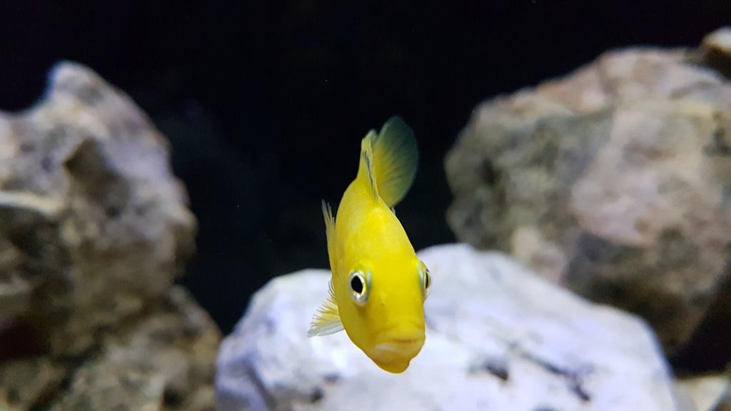 Labidochromis caeruleus (Fryer, 1956) 20180150