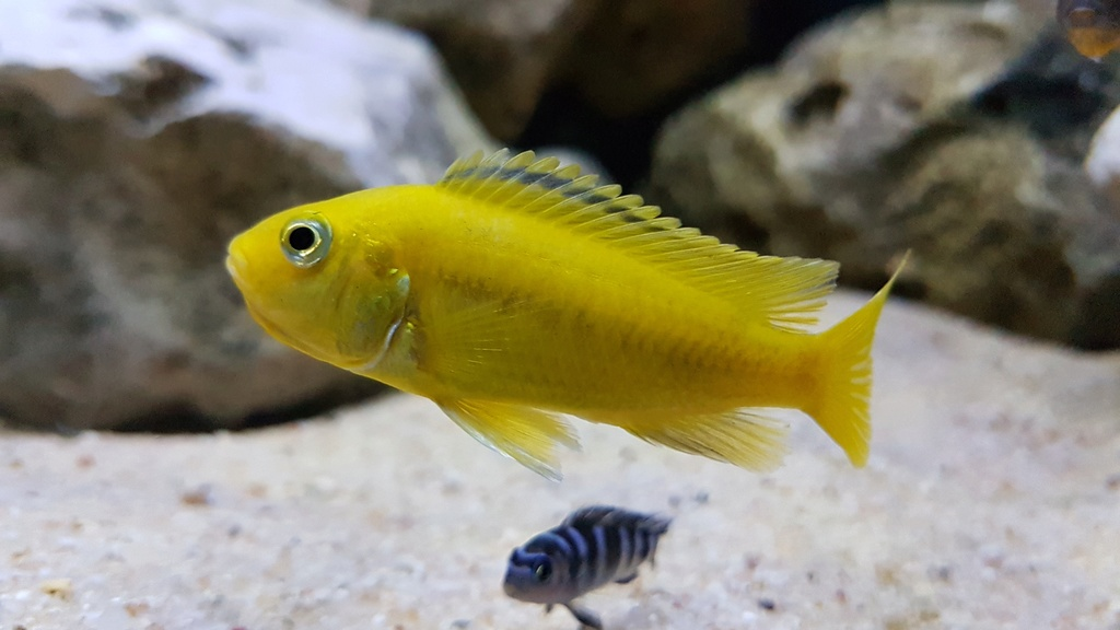 Labidochromis caeruleus (Fryer, 1956) 20180151