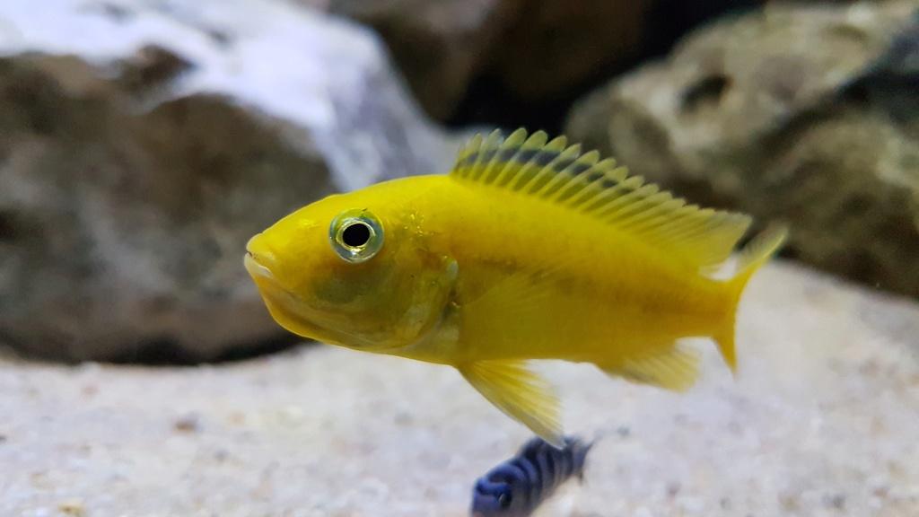 Labidochromis caeruleus (Fryer, 1956) 20180152