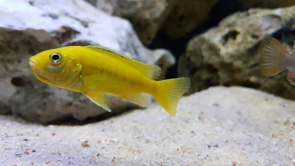 Labidochromis caeruleus (Fryer, 1956) 20180153