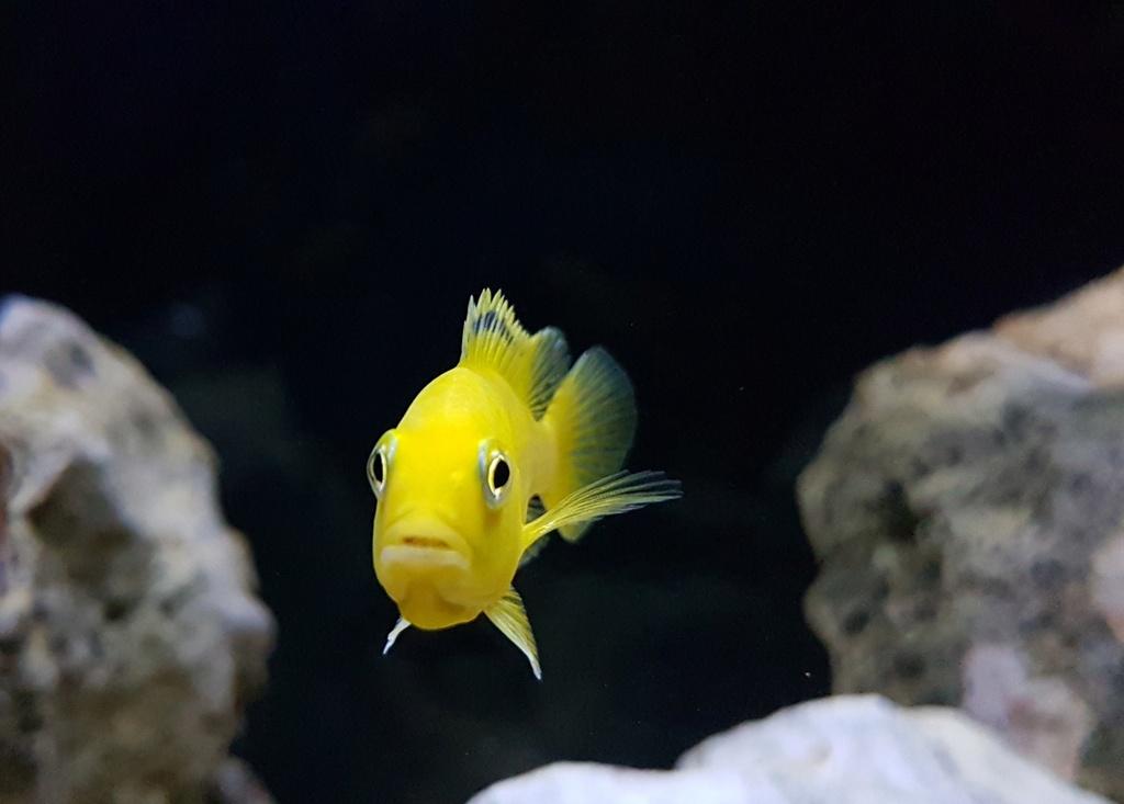 Labidochromis caeruleus (Fryer, 1956) 20180154