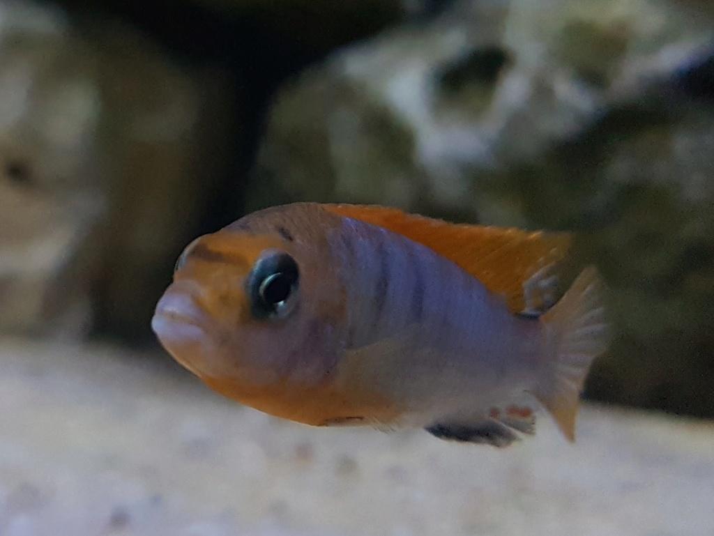 Labidochromis sp. Hongi 20180173