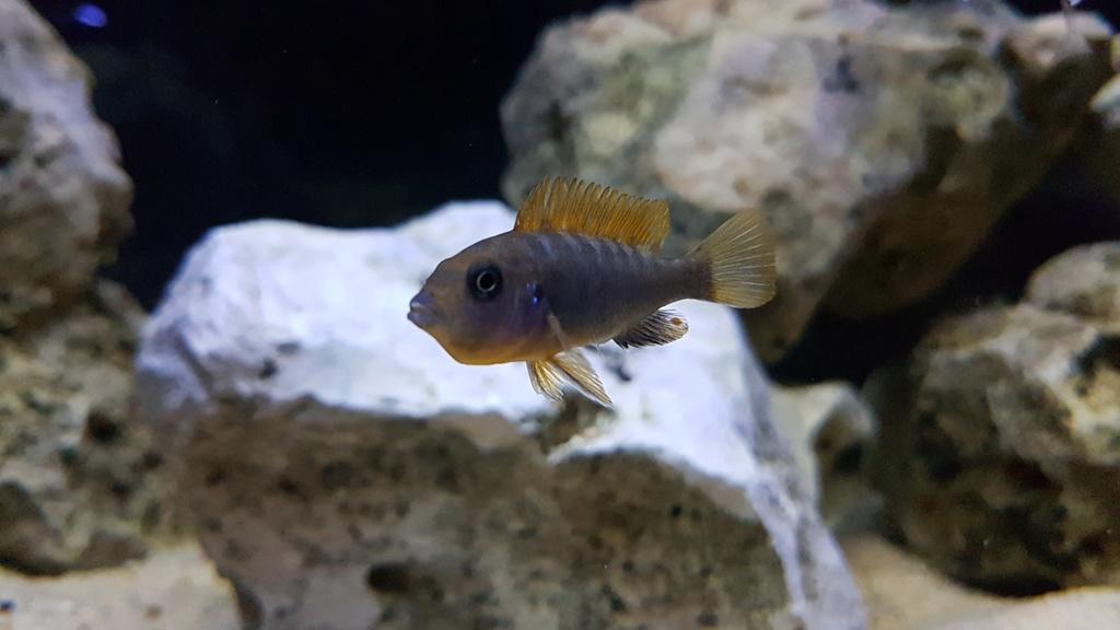 Labidochromis sp. Hongi 20180175