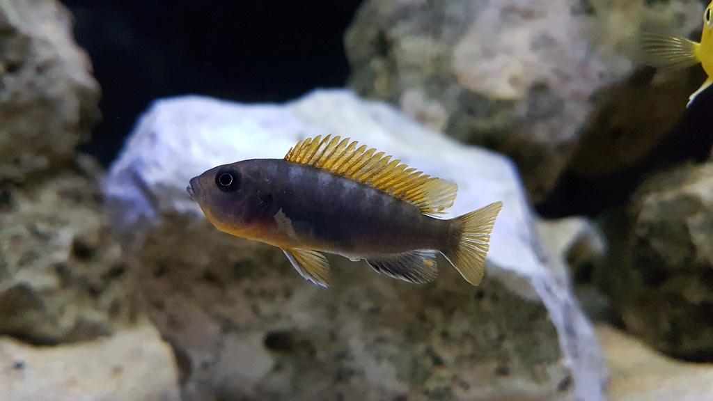 Labidochromis sp. Hongi 20180176