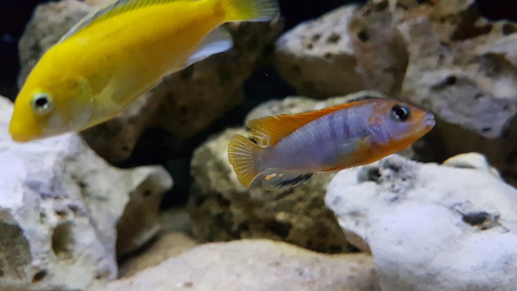 Labidochromis sp. Hongi 20180177