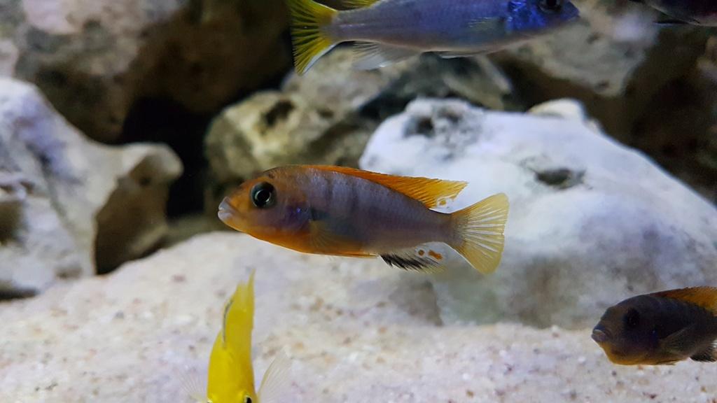 Labidochromis sp. Hongi 20180178