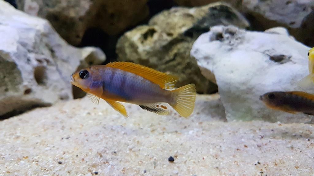 Labidochromis sp. Hongi 20180179