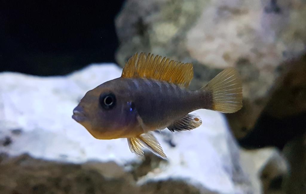 Labidochromis sp. Hongi 20180180