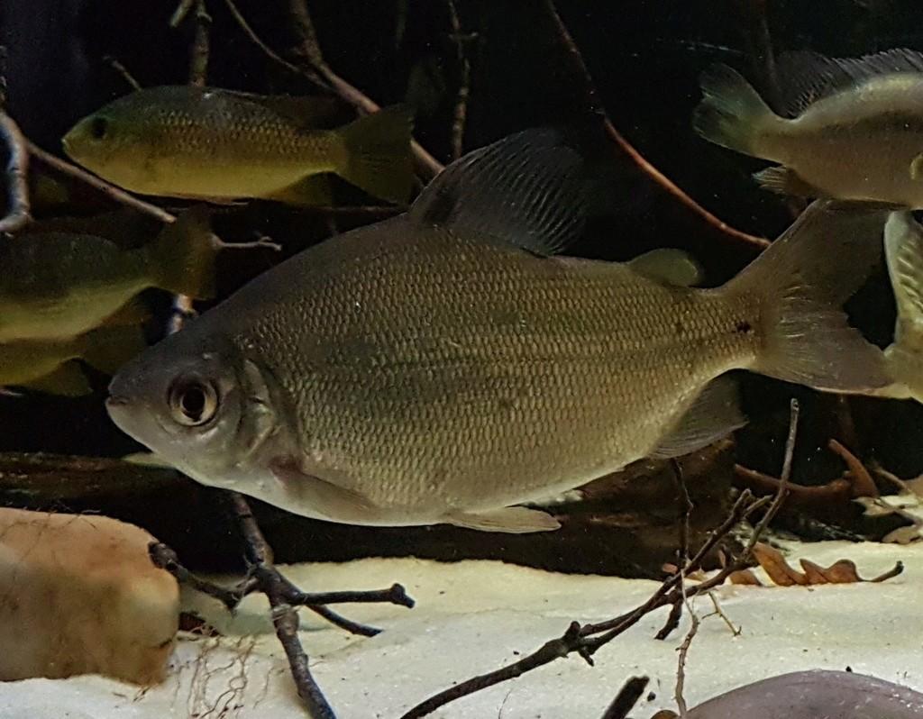 Xenocharax spilurus  (Günther,  1867) 20180231