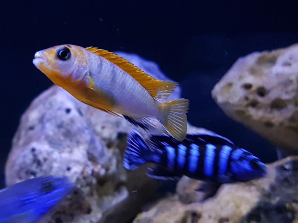 Labidochromis sp. Hongi 20180314