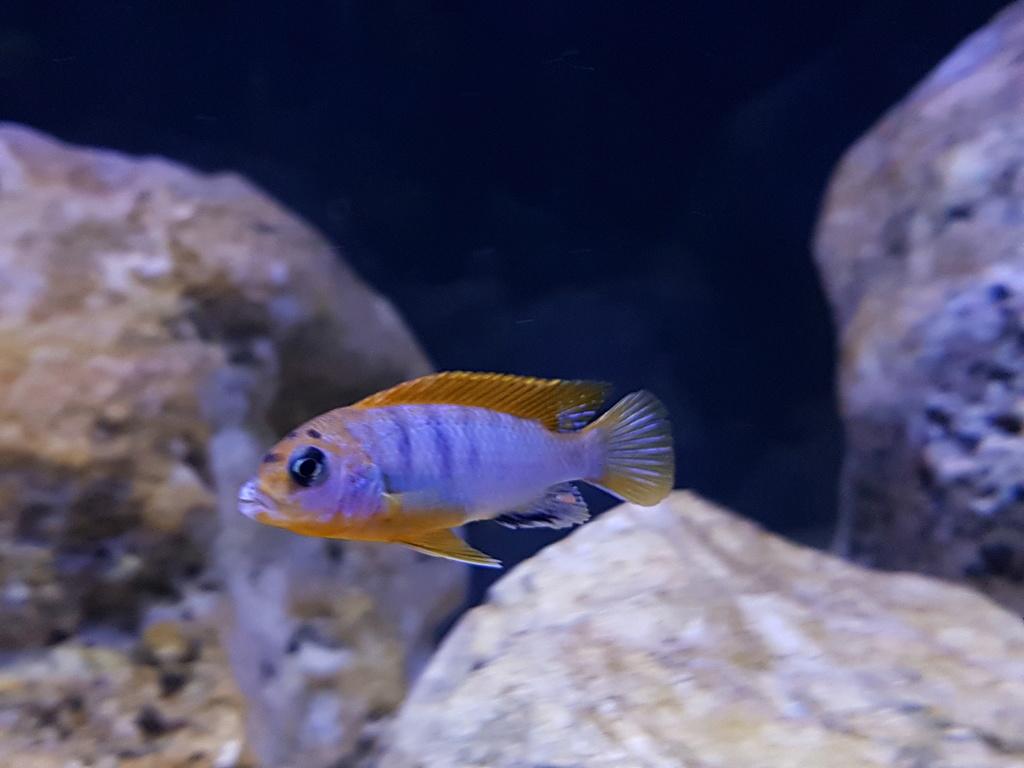Labidochromis sp. Hongi 20180316