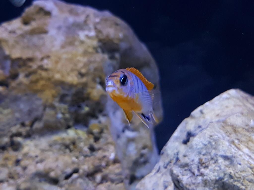 Labidochromis sp. Hongi 20180317