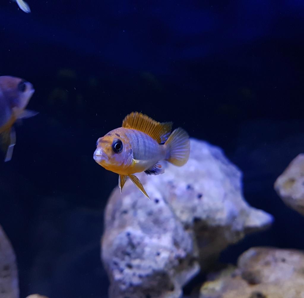 Labidochromis sp. Hongi 20180318