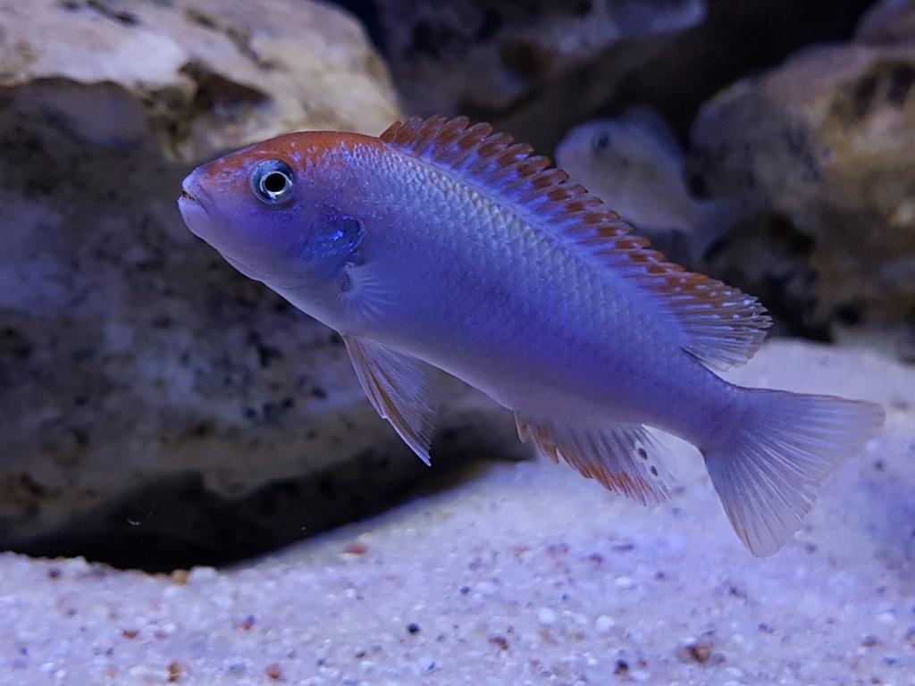 Pseudotropheus sp. red top ndumbi 20180321