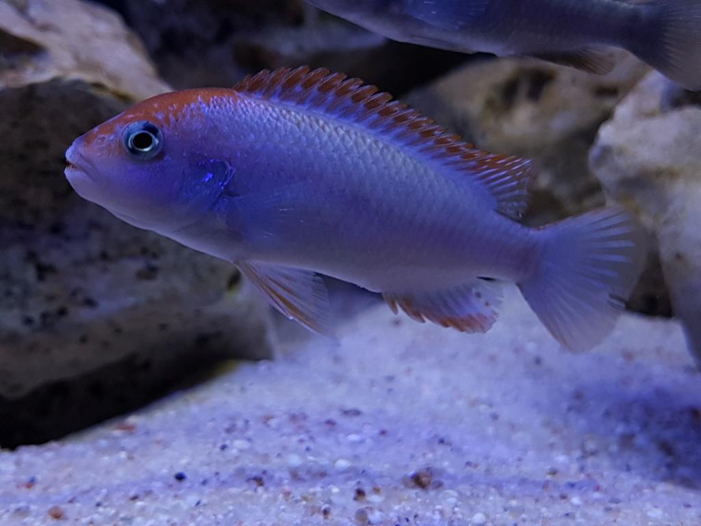 Pseudotropheus sp. red top ndumbi 20180322