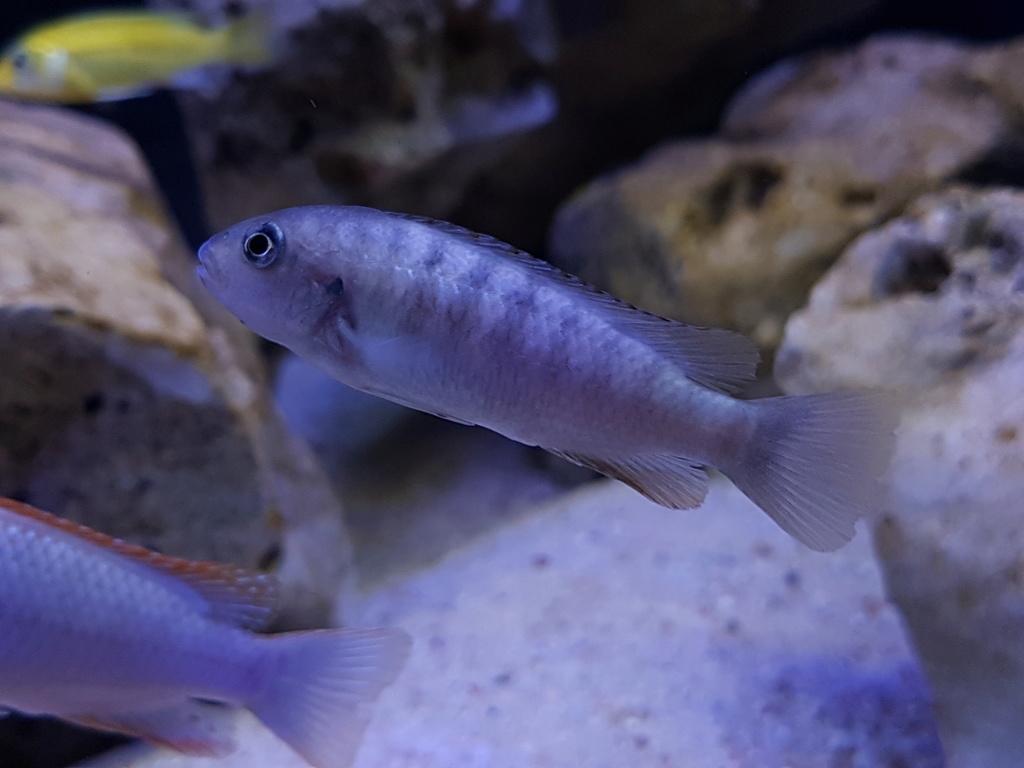 Pseudotropheus sp. red top ndumbi 20180324
