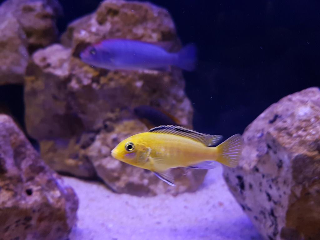 Labidochromis caeruleus (Fryer, 1956) 20180457