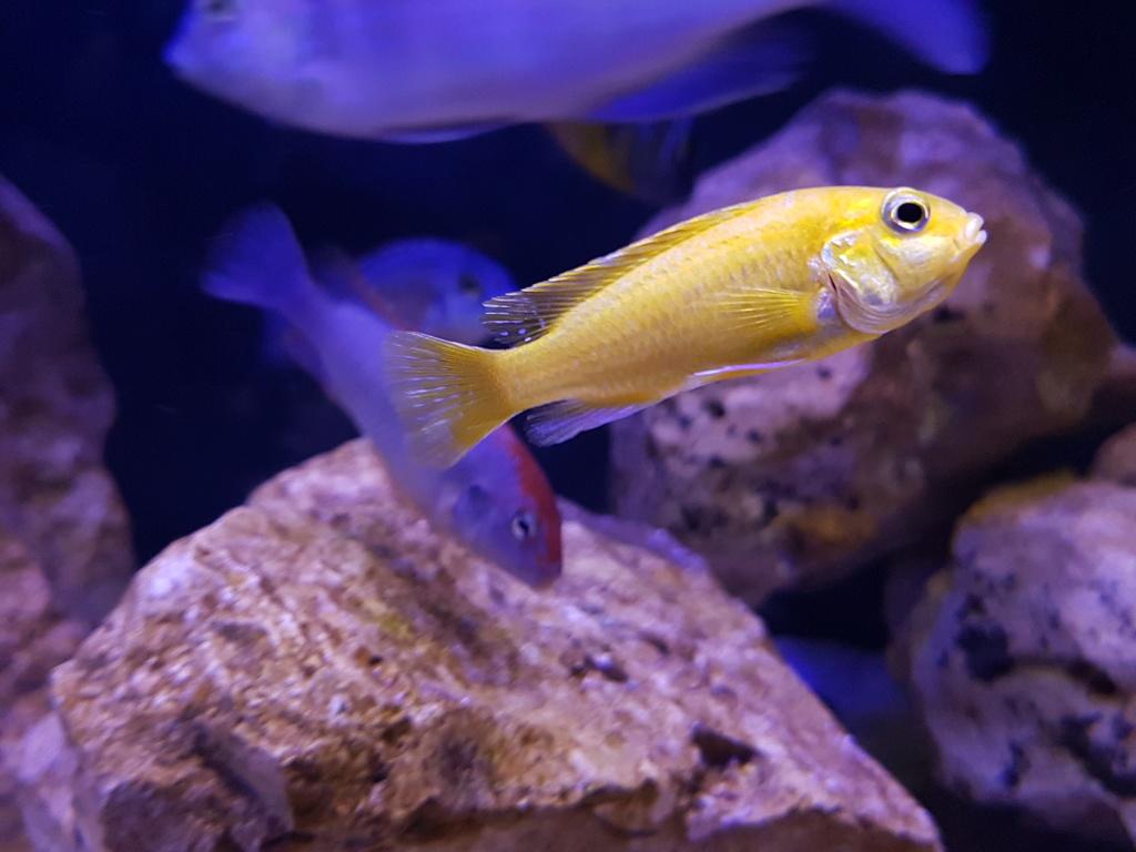 Labidochromis caeruleus (Fryer, 1956) 20180458