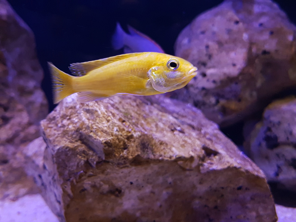 Labidochromis caeruleus (Fryer, 1956) 20180459