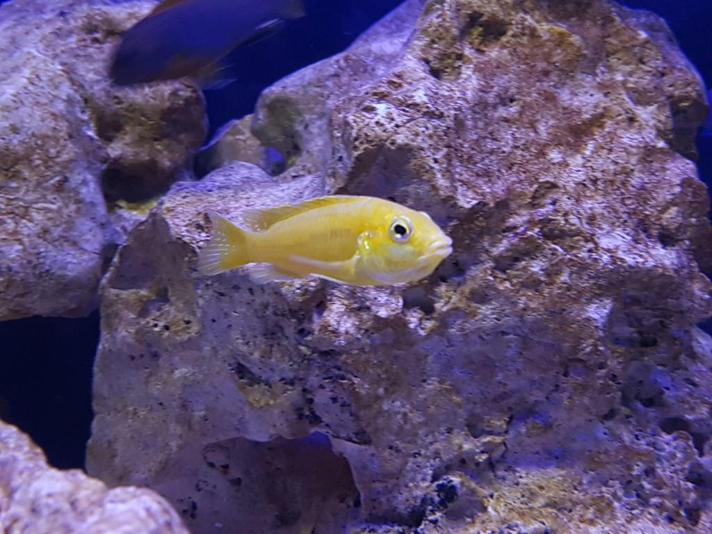 Labidochromis caeruleus (Fryer, 1956) 20180460