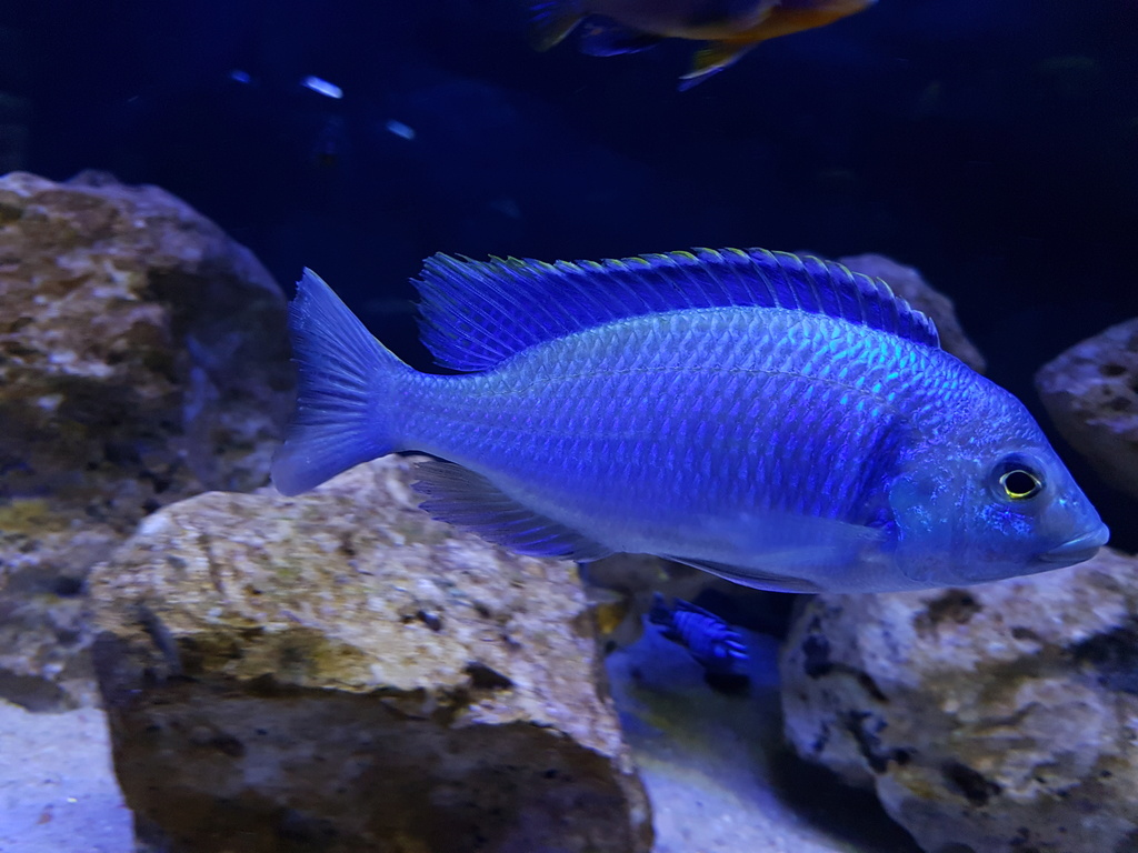 Placidochromis electra 20180462