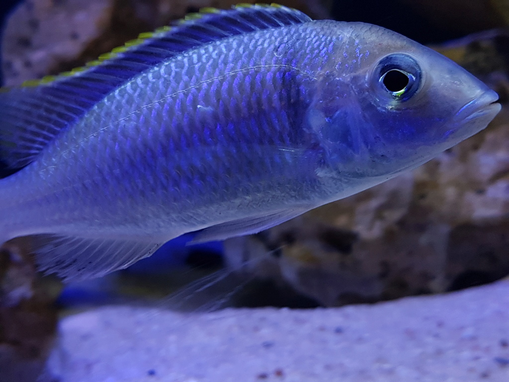 Placidochromis electra 20180464