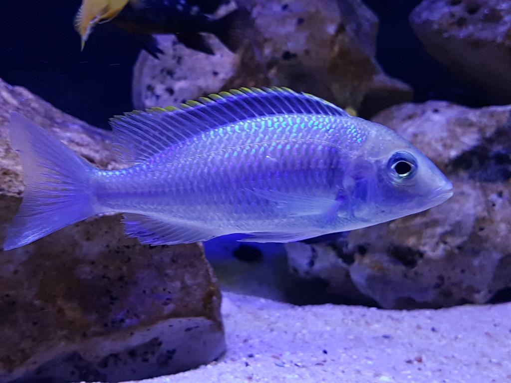 Placidochromis electra 20180466