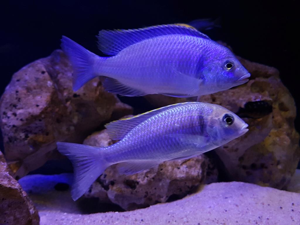 Placidochromis electra 20180468