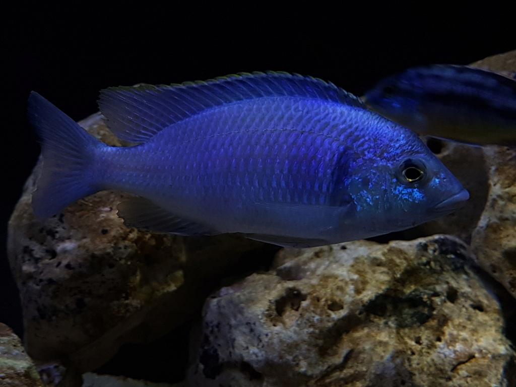 Placidochromis electra 20180510