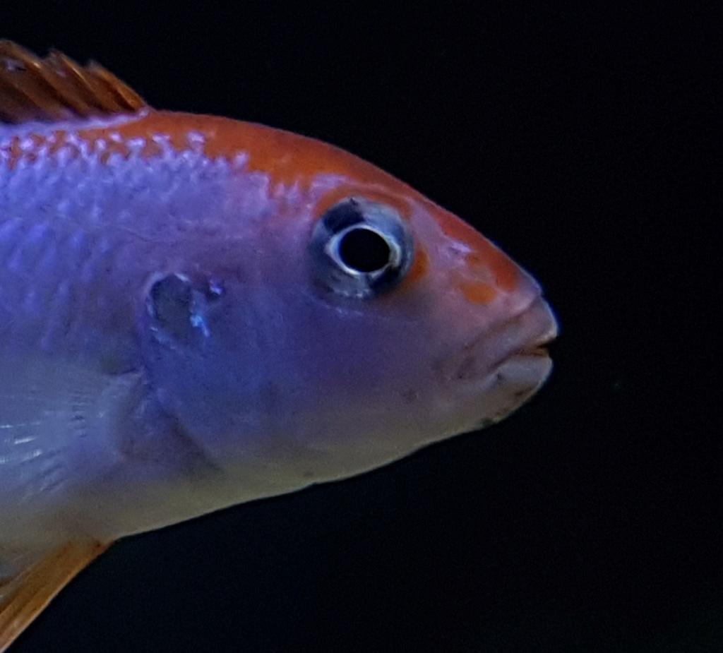 Pseudotropheus sp. red top ndumbi 20180512