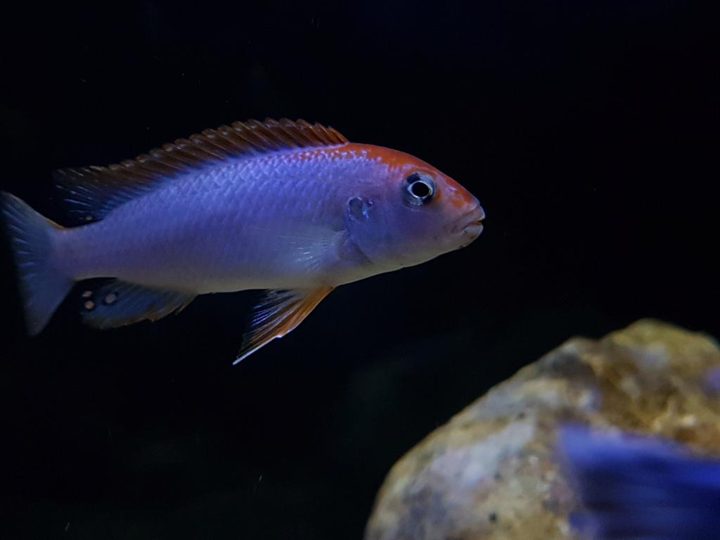 Pseudotropheus sp. red top ndumbi 20180513