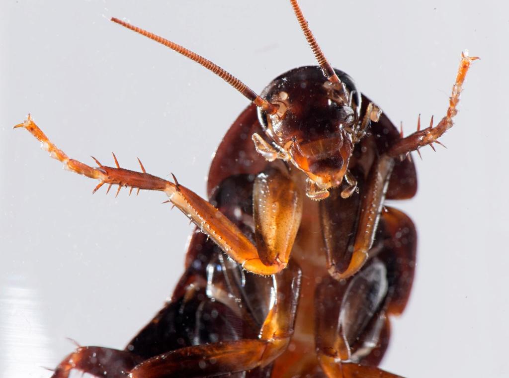Fobia a las cucarachas Cockro10