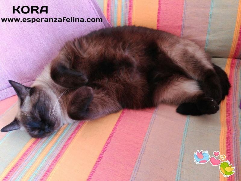 Kora, gata siamesa busca hogar, Álava (Fecha aprox. nacimiento 5/11) - Página 3 9oqu6710