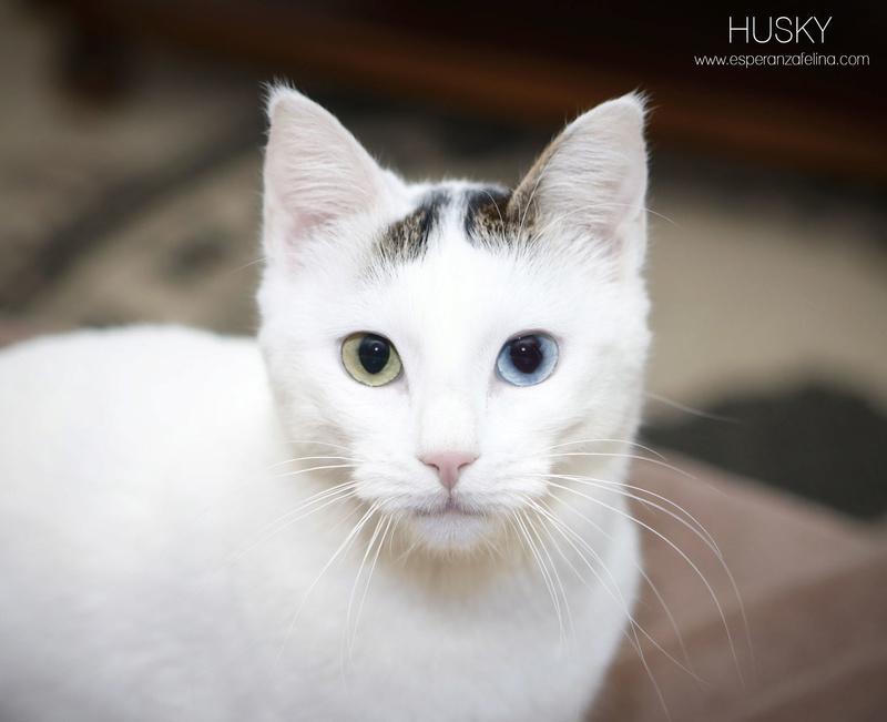Husky, preciosa gatita andaluza busca hogar. (FN: 18/04/17) Álava. _mg_0810